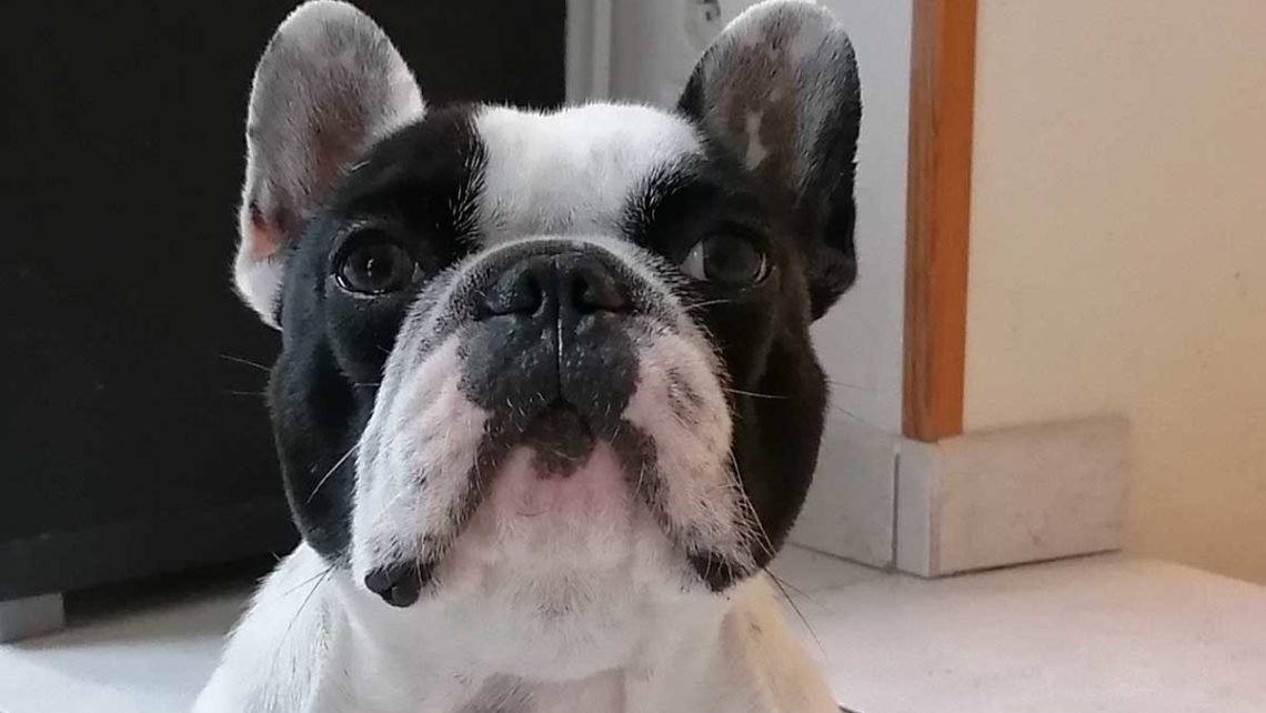 Le chien Meïden en formation de spécialisation à la médiation animale chez Umanima
